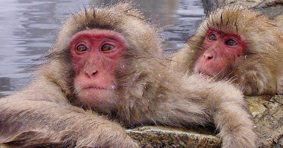 """7.fev.2000 - Macacos-japoneses, conhecidos como """"macacos da neve"""", tomam banho ao ar livre em fonte termal do parque Jigokudani, na cidade de Yamanouchi (Japão). Cerca de 160 animais habitam a área e são atrações turísticas"""