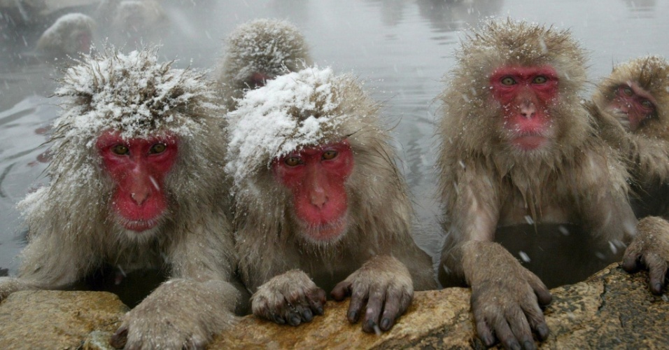 """8.dez.2008 - Macacos-japoneses, conhecidos como """"macacos da neve"""", tomam banho ao ar livre em fonte termal do parque Jigokudani, na cidade de Yamanouchi (Japão). Cerca de 160 animais habitam a área e são atrações turísticas"""