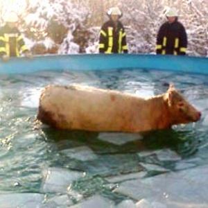 A vaca fujona presa na piscina e os bombeiros observando confusos - Reprodução/Orange News