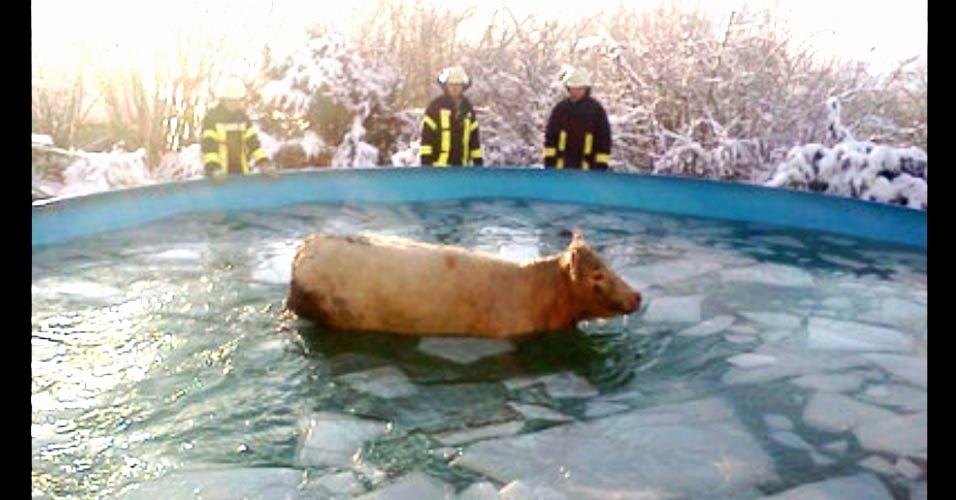 A vaca fujona presa na piscina e os bombeiros observando confusos