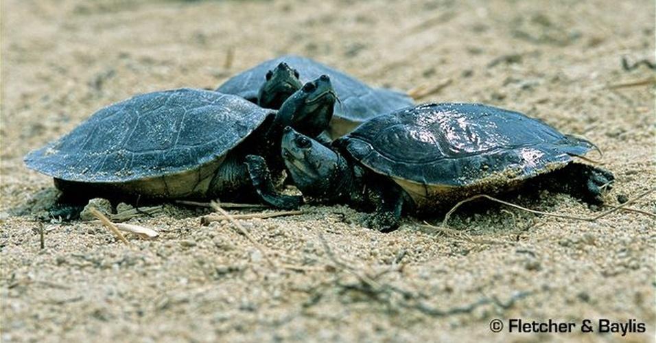 """A caça no Camboja está exterminando da natureza esta tartaruga (""""Batagur baska"""") - na foto, filhotes do réptil que são exportados, principalmente, para China e Indonésia"""