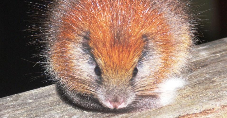"""As plantações de café e a expansão urbana devastaram o habitat deste roedor da Colômbia (""""Santamartamys rufodorsalis"""")"""