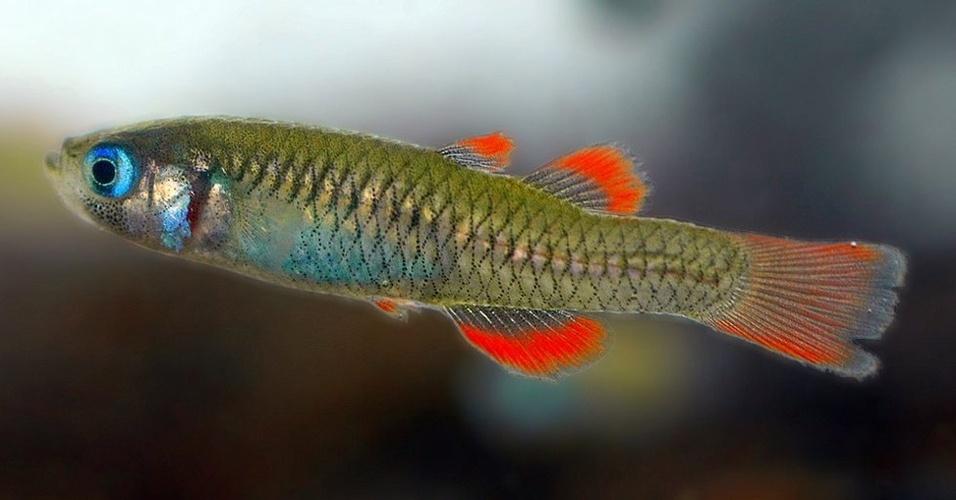 """A introdução de novas espécies nas águas de Queensland, na Austrália, ameaça o peixe da espécie """"Scaturiginichthys vermeilipinnis"""" - a IUCN estima que existam entre 2.000 e 4.000 peixes na região"""