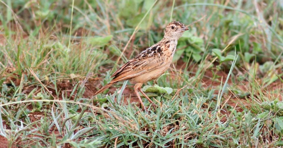 Apenas entre 90 e 250 espécies desta ave (Heteromirafa sidamoensis) ainda vivem na Etiópia. O pássaro perdeu seu habitat com a expansão da agricultura no país africano