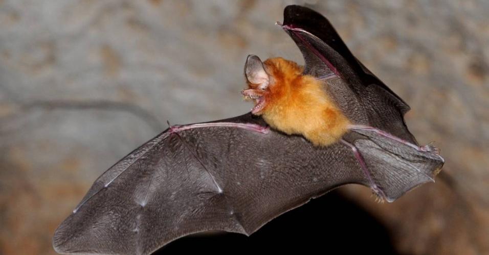 Esta espécie de morcego de Cuba (Natalus primus) é prejudicada pela aproximação de humanos, afirma a IUCN