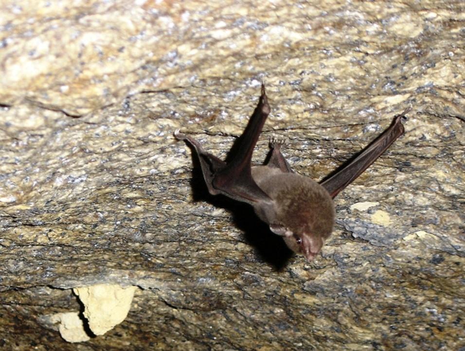 O Morcego-de-cauda é encontrado apenas em duas cavernas das ilhas Seycheles