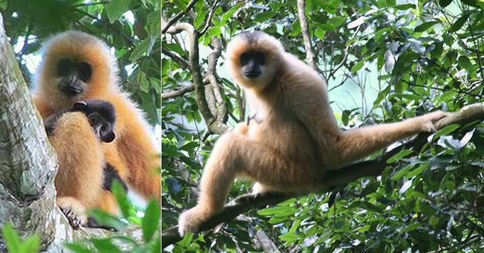 """Somente 20 indivíduos deste primata (""""Nomascus hainanus"""") existem em uma ilha da China, segundo relatório dos cem animais mais ameaçados do planeta"""