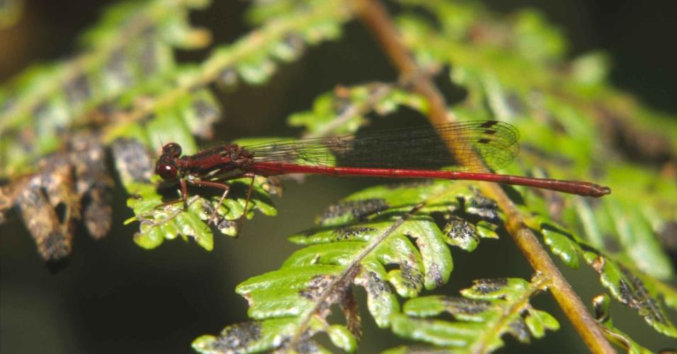 """A exploração da floresta e a expansão da agricultura põem em risco a espécie """"Oreocnemis phoenix"""", inseto típico do Maláui, na África"""