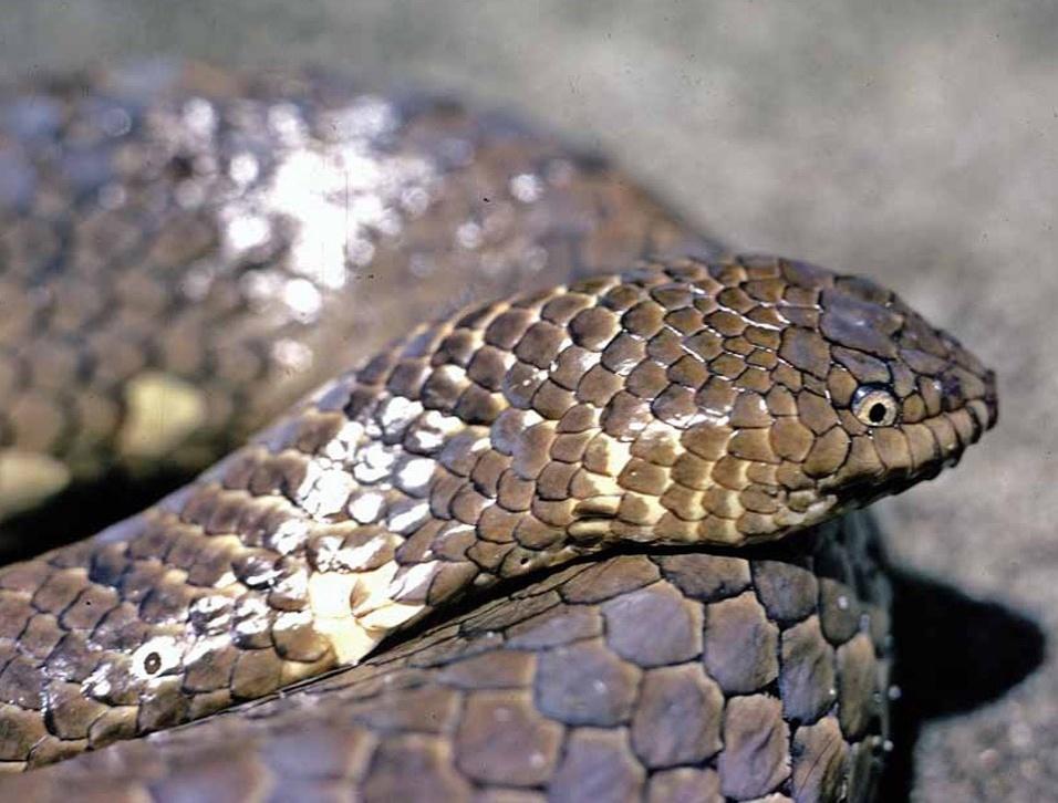 """A degradação dos corais no Timor ameaça esta cobra (""""Aipysurus foliosquama"""")"""