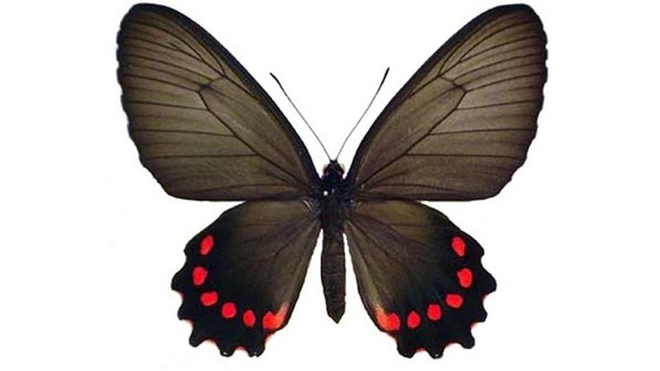 A Parides burchellanus, borboleta achada no Cerrado brasileiro, está na lista dos cem animais mais ameaçados do planeta por ter uma população de cem exemplares. Mas por ser encontrada em mais de um bioma e ser preservada em unidade de conservação, o inseto tem pouco risco de ser exterminado da fauna brasileira, afirma o ICMBio