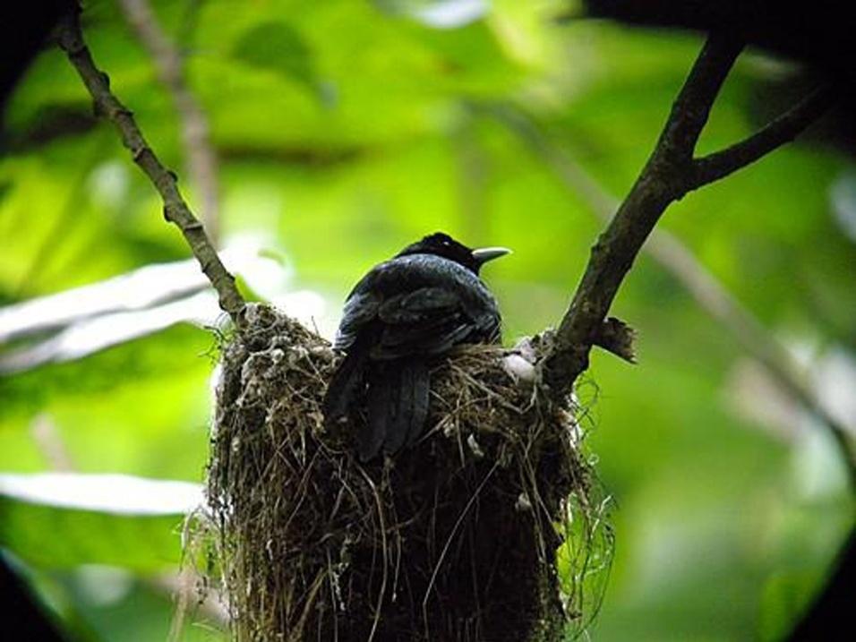 """Só restam 50 indivíduos da espécie """"Pomarea whitneyi"""" na natureza, afirma o relatório da IUCN. A ave das ilhas Marquesas, na Polinésia Francesa, é presa de felinos e até de roedores da região"""