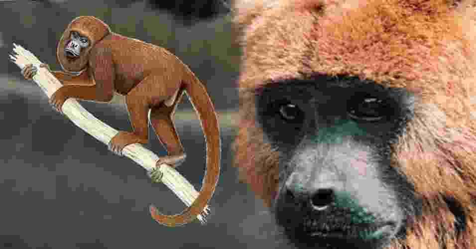 """Brasil tem duas espécies de macacos entre os 25 primatas mais ameaçados de extinção no planeta, segundo relatório divulgado nesta segunda-feira (15) pela organização União Internacional para a Conservação da Natureza (IUCN, na sigla em inglês). O bugio-marrom (""""Alouatta guariba guariba"""") corre risco de desaparecer das florestas devido ao desmatamento e à caça, afirma o ICMBio - Divulgação"""
