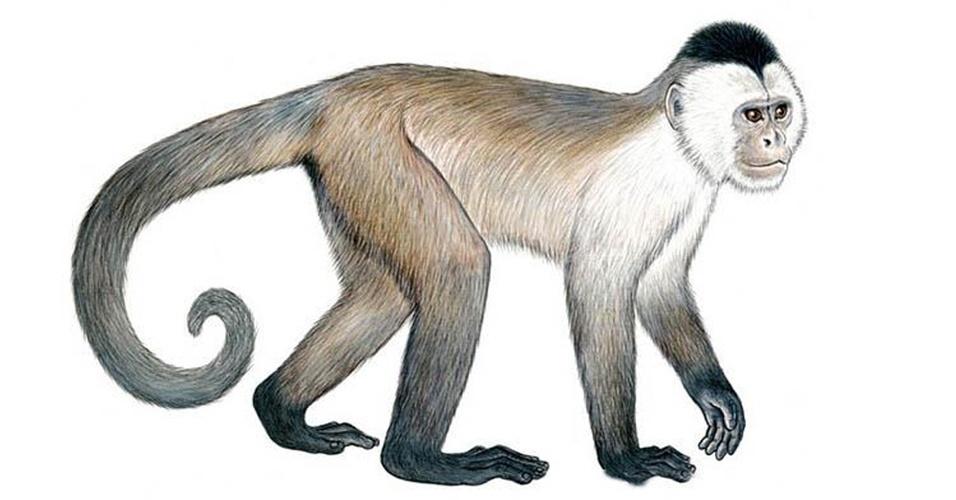 Brasil tem duas espécies de macacos entre os 25 primatas mais ameaçados de extinção no planeta, segundo relatório divulgado pela organização União Internacional para a Conservação da Natureza (IUCN, na sigla em inglês). O macaco-caiarara (Cebus kaapori) corre risco de desaparecer da Amazônia devido ao desmatamento e à caça