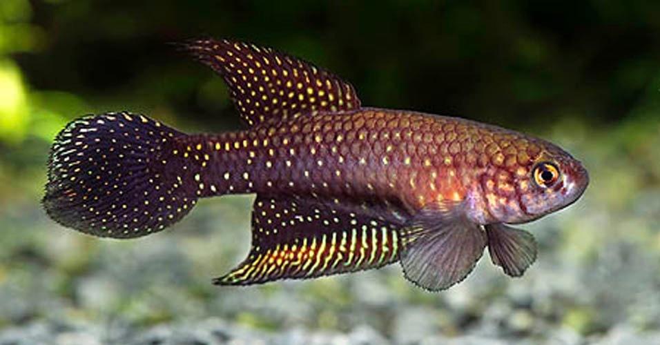 O 'Ophthalmolebias constanciae' é um peixe anual da Mata Atlântica