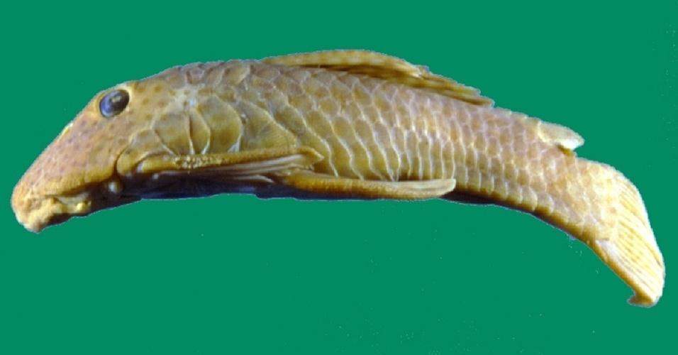 """Represamentos e poluição de esgotos domésticos eliminaram os ambientes ocupados pelo Cascudo (""""Delturus parahybae""""), peixe ósseo da Mata Atlântica"""