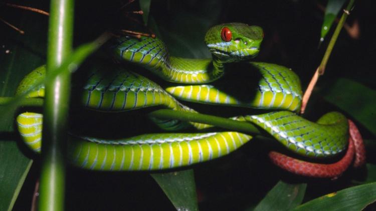 """18.dez.2012 - Esta víbora olhos de rubi (""""Trimeresurus Rúbeo"""") foi descoberta nas florestas de Ho Chi Minh, no sul do Vietnã. A WWF (Fundo Mundial para a Natureza, na sigla em inglês) divulgou nesta terça-feira (18) a descoberta de 126 espécies desconhecidas na região do rio Mekong, na Ásia - Peter Paul Van Dijk/WWF/AFP - Peter Paul Van Dijk/WWF/AFP"""