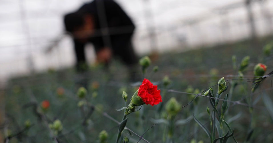 20.dez.2012 - Palestino pega flores para exportação em uma fazenda de flores em Rafah, na Faixa de Gaza