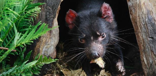 Diabo-da-Tasmânia em zoológico em Sydney