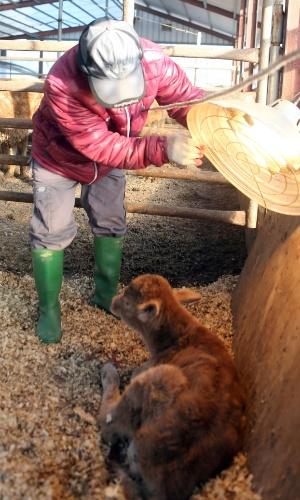 24.dez.2012 - Fazendeiro aquece bezerro com aquecedor elétrico em fazenda de gado na cidade de Chuncheon, perto de Seul (Coreia do Sul)