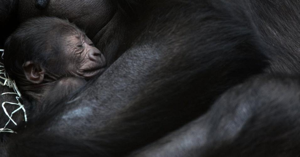 24.dez.2012 - Mãe gorila segura filhote de dois dias, em zoo de Praga