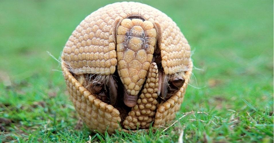 """26.dez.2012 - O mascote da Copa, o tatu-bola (Tolypeutes tricinctus), que hoje é classificado como """"vulnerável"""" será rebaixado para a categoria ?em perigo de extinção?, em 2013."""