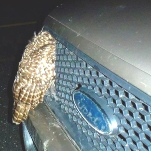 A penosa voava baixo para capturar presa antes de ser atingida pelo carro - Facebook/Vermont Fish & Wildlife