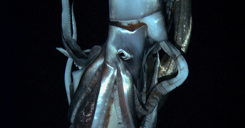 7.jan.2013 - Imagem divulgada pela rede japonesa NHK e a Discovery Channel mostra uma lula gigante, um dos animais mais misteriosos do mundo. O animal captado tem cerca de três metros de comprimento, e as imagens registram de perto seus enormes olhos e ventosas, de cerca de cinco centímetros de largura