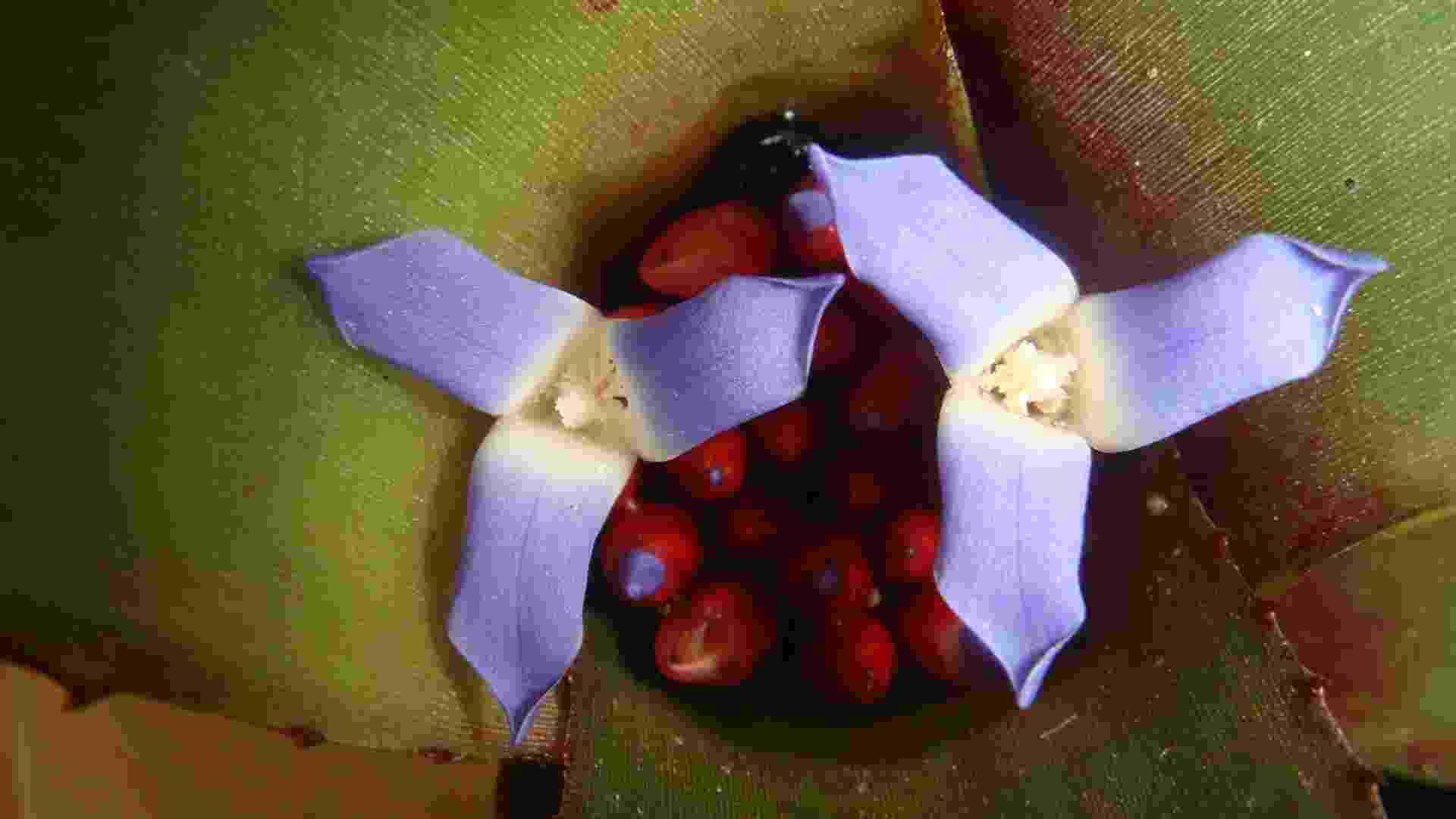 Com folhas largas, achatadas e rígidas e tanque central onde ocorre a floração, as bromélias Neoregelia são originárias no Brasil. As inflorescências se formam numa depressão no centro da planta, formando um receptáculo para recolher água. Aparecem como epífitas ou rupícolas, desenvolvendo-se em meio iluminado, com sol pela manhã e no fim da tarde - Nara Vasconcellos/Jardim Botânico do Rio de Janeiro/ Divulgação