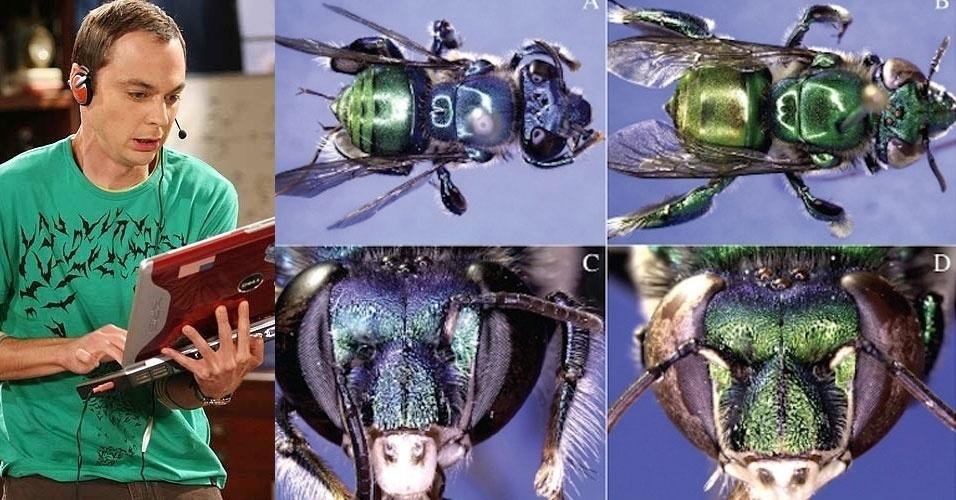 """O seriado """"The Big Bang Theory"""" serviu de inspiração para batizar uma nova espécie de abelhas brasileiras. Trata-se da """"Euglossa bazinga"""", que vive na área de transição entre o Cerrado e a Amazônia. Na série, a expressão """"bazinga"""" é dita frequentemente pelo """"nerd"""" Sheldon Cooper (Jim Parsons)"""