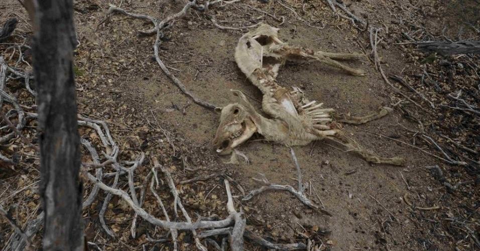 17.jan.2013 - Carcaça de uma cabra em Uauá, no sertão baiano