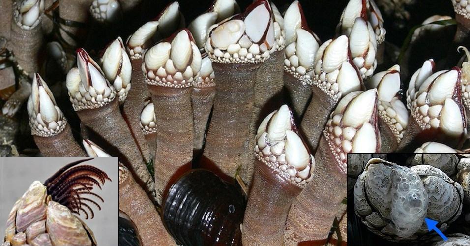 """17.jan.2013 - Os """"Pollicipes polymerus"""" têm órgãos reprodutores que mal saem das conchas (detalhe, à esquerda), mas eles conseguem fertilizar indivíduos a metros de distância. Eles soltam esperma (detalhe, à direita) e aguardam as ondas do mar levar seus genes para os vizinhos"""