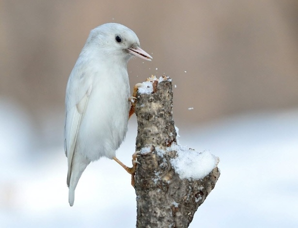 18.jan.2013 - Pássaro albino é visto na cidade de Suwon, na província de Gyeonggido (Coreia do Sul)