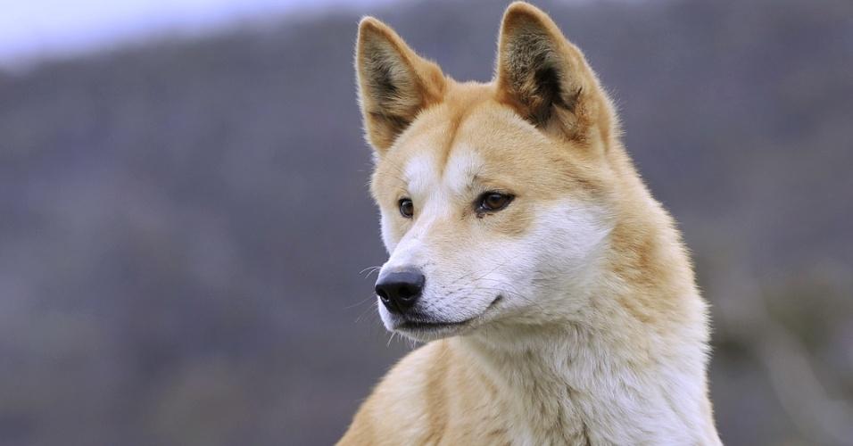 """21.jan.2013 - Estudo do Instituto Max Planck de Antropologia Evolutiva, na Alemanha, encontrou  """"evidências de fluxo gênico entre as populações da Índia e da Austrália cerca de 4.000 anos atrás"""". De acordo com a pesquisa, os indianos romperam o isolamento do continente australiano e se misturaram aos aborígenes, levando o ancestral do cachorro dingo"""