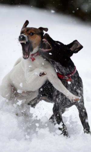 22.jan.2013 - Dois cães brincam na neve durante clima frio em Pitlochry, na Escócia, nesta terça-feira (22)
