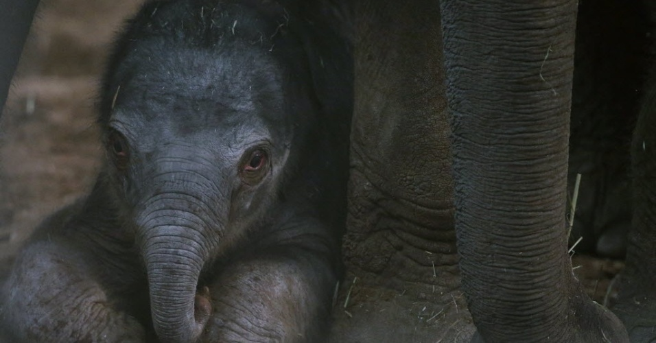 22.jan.2013 - Elefante asiático recém-nascido se deita com a mãe em jaula no Jardim Zoológico de Chester, no norte da Inglaterra, nesta terça-feira (22). O filhote, que possui menos de um dia de idade, é o segundo elefante a nascer no zoológico em 12 semanas