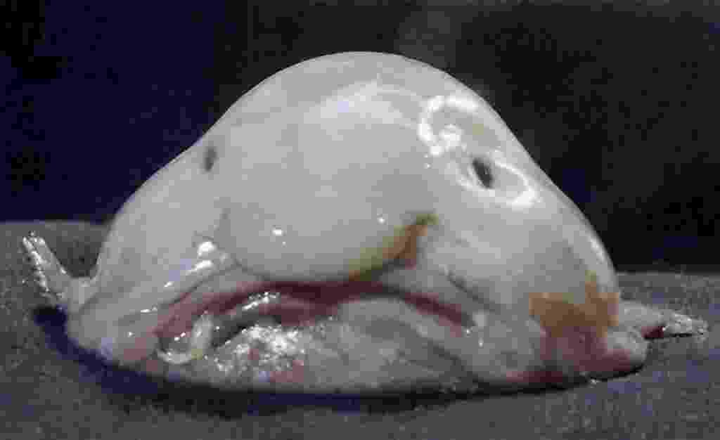 """22.jan. 2013 - O blobfish (""""Psychrolutes marcidus"""") é um peixe encontrado nas profundezas do oceano, perto da Austrália. Entre 600 e 1200 m de profundidade, a pressão da água é muito maior do que na superfície, por isso seu corpo é gelatinoso, com uma densidade pouco menor que a água. Isto faz com que ele flutue e alimente-se de pequenos invertebrados que passam em sua frente - Reprodução/Youtube"""
