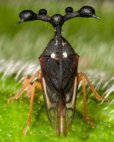 """Uma das espécies tidas como mais bizarras do mundo é a brasileira """"Bocydium globulare"""". O inseto, que é parente de cigarras e gafanhotos, tem cerca de 5 mm e """"chifres"""" que parecem antenas, mas que os cientistas ainda não sabem bem para que servem. Uma hipótese é que as bolas afastariam possíveis predadores, que engasgam com elas"""