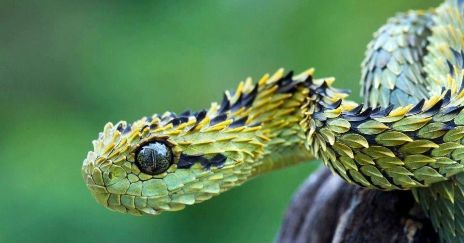 """A cobra """"Atheris hispida"""" é uma víbora venenosa encontrada na África central. Ela é conhecida pelas escamas abertas que lhe dão uma aparência estranha. Os machos chegam a 73 cm, enquanto as fêmeas atingem, no máximo, 58 cm"""