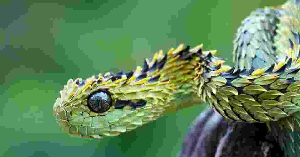 """A cobra """"Atheris hispida"""" é uma víbora venenosa encontrada na África central. Ela é conhecida pelas escamas abertas que lhe dão uma aparência estranha. Os machos chegam a 73 cm, enquanto as fêmeas atingem, no máximo, 58 cm - Reprodução"""