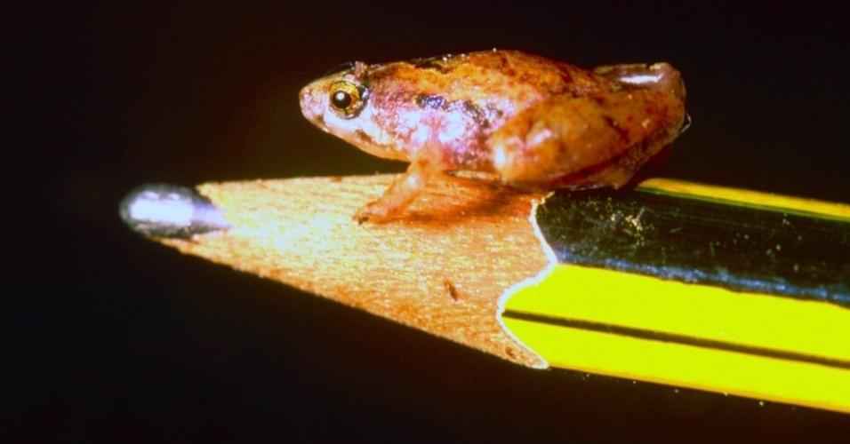 """Um dos menores sapos que existem, o """"Microhyla nepenthicola"""" foi apelidado de sapo ervilha por ter entre 10,6 e 12,8 mm quando adulto. A espécie foi encontrada em plantas carnívoras na ilha de Bornéu, na Ásia"""