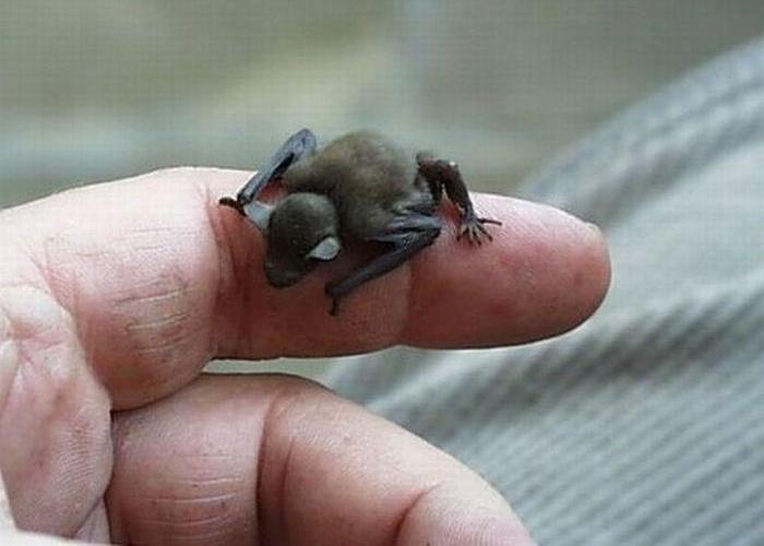 """O morcego focinho-de-porco, ou apenas kitti, é o menor mamífero do mundo. A espécie """"Craseonycteris thonglongyai"""" da Tailândia tem o tamanho de uma abelha, mede de 29 a 33 mm de comprimento"""