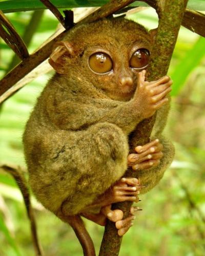 """O """"Tarsius syrichta"""" é uma espécie de társio das Filipinas. O primata é um dos menores do mundo, mede de 85 mm a 160 mm e pesa entre 80 g e 165 g. Os olhos têm o tamanho do cérebro e a cauda é mais longa que o corpo"""