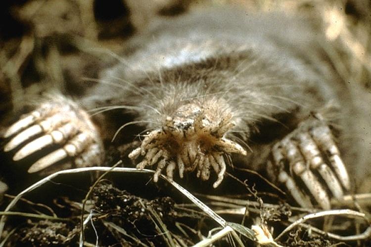 """Este animal esquisito é a toupeira-nariz-de-estrela (""""Condylura cristata""""), encontrado na região leste dos Estados Unidos. Ele é reconhecido pelos 22 apêndices que saem de seu nariz e que são usados para manipular objetos. A espécie tem de 14 a 20 cm de comprimento e vive em túneis subterrâneos"""