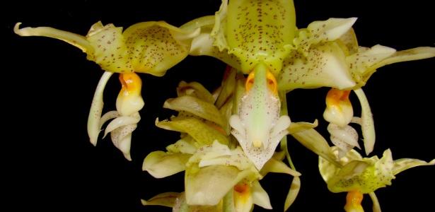 Exemplares do gênero Stanhopea são destaque na Terceira Mostra Verão de Orquídeas, em São Roque - Divulgação