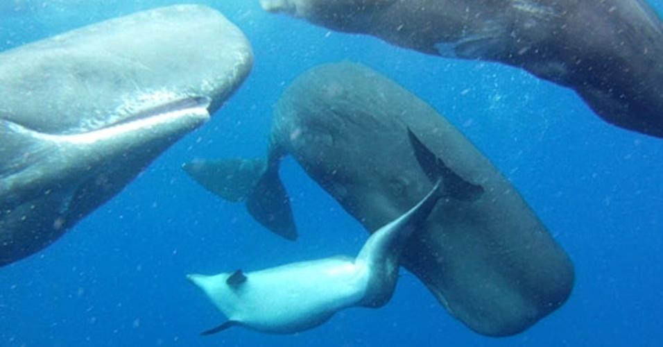 """25.jan.2013 - Ecologistas descobriram um golfinho adulto vivendo com algumas cachalotes na região do arquipélago de Açores, no Atlântico. O golfinho pode ter sido rejeitado pelo seu grupo por ter uma má formação na espinha (formato de """"S"""") e adotado por """"pena"""" das cachalotes, descreve o estudo comportamental do Instituto Leibniz de Ecologia de Água Doce e Pesca Interior, em Berlim, na Alemanha. Os pesquisadores afirmam não conhecer relatos de comportamentos agregadores entre as cachalotes"""