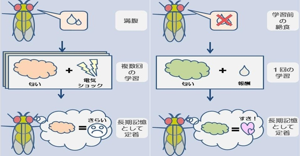 """25.jan.2013 - Estudo do Instituto Metropolitano de Ciências Médicas de Tóquio, no Japão, mostrou que a fome desperta um hormônio que reduz o açúcar no organismo e ativa uma proteína no cérebro capaz de ajudar a memória. O gráfico ilustra o sistema de aversão e recompensa feito com moscas-das-frutas (""""Drosophila""""), que, na privação de comida, passaram a evitar os cheiros que estavam associados à descarga elétrica (esquerda)"""