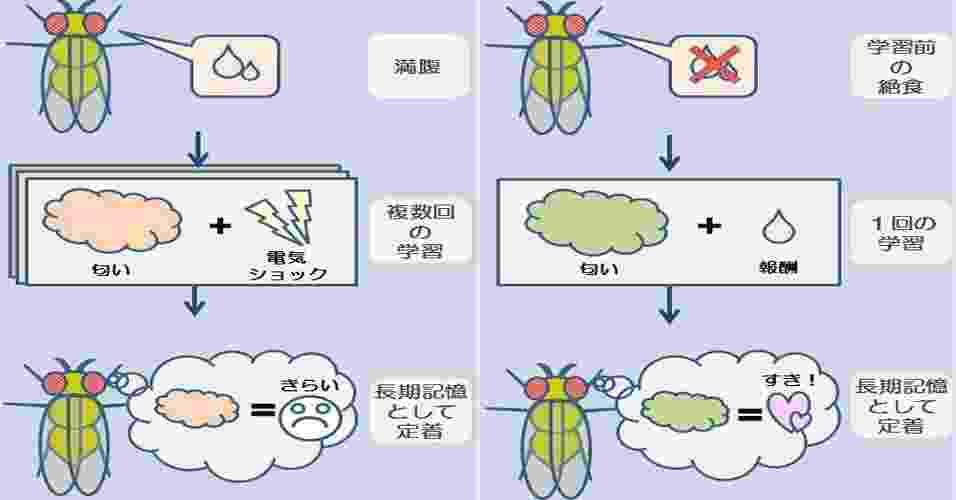 """25.jan.2013 - Estudo do Instituto Metropolitano de Ciências Médicas de Tóquio, no Japão, mostrou que a fome desperta um hormônio que reduz o açúcar no organismo e ativa uma proteína no cérebro capaz de ajudar a memória. O gráfico ilustra o sistema de aversão e recompensa feito com moscas-das-frutas (""""Drosophila""""), que, na privação de comida, passaram a evitar os cheiros que estavam associados à descarga elétrica (esquerda) - Tokyo Metropolitan Institute of Medical Science/Divulgação"""