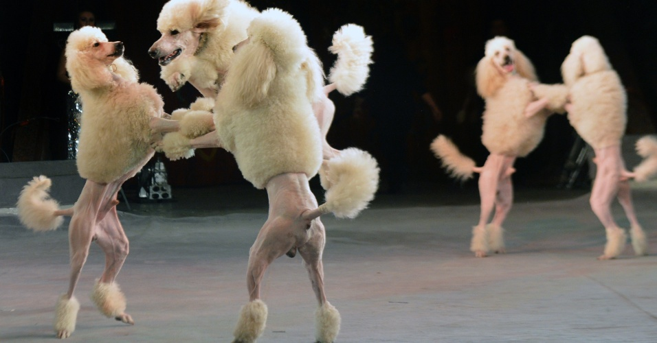 25.jan.2013- Cães apresentam novo número em um show do Circo Nacional da Ucrânia, em Kiev