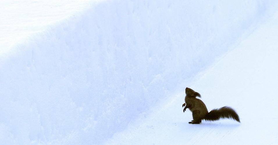 25.jan.2013- Um esquilo para próximo a uma pista de gelo em uma montanha no resort de St. Moritz, na Suíça