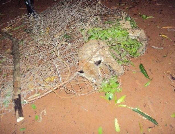 25.jan.2013- Uma onça suçuarana foi resgatada em uma residência na cidade de Jesúpolis, a 114 quilômetros de Goiânia, na última terça-feira (22). O animal estava sobre uma árvore no quintal e foi retirada por uma equipe do Corpo de Bombeiros. A suçuarana, também conhecida como onça-parda, é a segunda maior espécie de felino do Brasil. Possui corpo alongado, medindo até 1,8 metro de comprimento. Um macho adulto pesa 70 kg. Os animais caçam a qualquer hora do dia